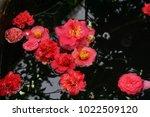 Fallen Red Camellia Flowers In...
