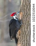 Male Pileated Woodpecker At Work