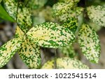 gold dust dracaena  spotted... | Shutterstock . vector #1022541514