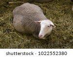 pregnant female sheeps in...