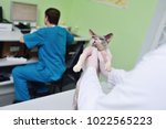 Stock photo cat sphynx on examination in a veterinary clinic 1022565223