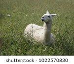 White Llama In Grass Field