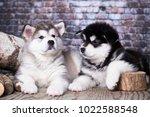 puppy of alaskan malamute  | Shutterstock . vector #1022588548