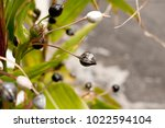 job's tears   coix lachryma... | Shutterstock . vector #1022594104