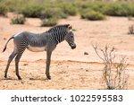 Stock photo grevys baby zebra in samburu national reserve in kenya 1022595583