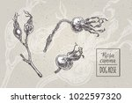 dog rose  rosa canina   hand... | Shutterstock .eps vector #1022597320