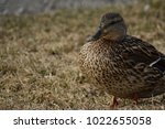 Brown Colored Duck With Big...