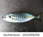 fresh fish from fishing vessel | Shutterstock . vector #1022696050