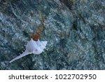 shells on gray stone  the sea... | Shutterstock . vector #1022702950