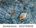 shells on gray stone  the sea... | Shutterstock . vector #1022703028