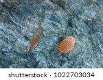 shells on gray stone  the sea... | Shutterstock . vector #1022703034