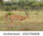 closeup of impala  scientific... | Shutterstock . vector #1022706838