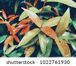 drops water on leaves after... | Shutterstock . vector #1022761930