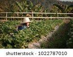little girl keeps strawberry... | Shutterstock . vector #1022787010