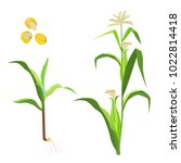 sweet corn flowering plant and... | Shutterstock .eps vector #1022814418