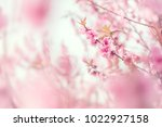 close up cherry blossom or... | Shutterstock . vector #1022927158