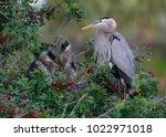great blue heron  ardea... | Shutterstock . vector #1022971018