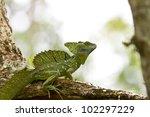 Male Emerald Basilisk ...