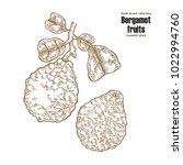 bergamot fruit and leaves. hand ... | Shutterstock .eps vector #1022994760