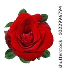 Stock photo red rose in isolated on white background 1022996794