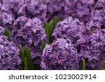 Hyacinth Flowers Multiple