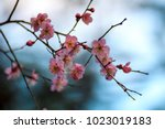 the pink japanese apricot  ume...   Shutterstock . vector #1023019183