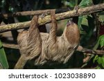 linnaeus's two toed sloth ... | Shutterstock . vector #1023038890