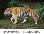 siberian tiger  panthera tigris ... | Shutterstock . vector #1023038899