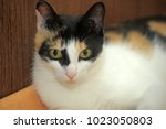 tricolor cat sitting on the... | Shutterstock . vector #1023050803