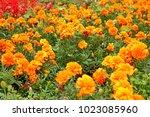 colorful flower glade. summer... | Shutterstock . vector #1023085960