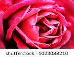 red rose flower | Shutterstock . vector #1023088210