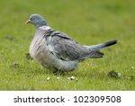 Fat Wood Pigeon  Columba...