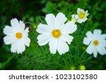 White Cosmos Genus Plant...