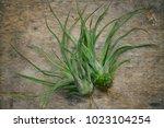 Tillansia Streptophylla Is A...