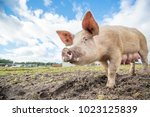 happy pigs on a farm in the uk | Shutterstock . vector #1023125839