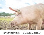 happy pigs on a farm in the uk | Shutterstock . vector #1023125860