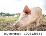happy pigs on a farm in the uk | Shutterstock . vector #1023125863