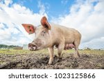 happy pigs on a farm in the uk | Shutterstock . vector #1023125866