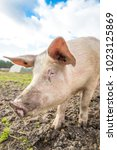 happy pigs on a farm in the uk | Shutterstock . vector #1023125869