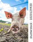 happy pigs on a farm in the uk | Shutterstock . vector #1023125920