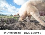 happy pigs on a farm in the uk | Shutterstock . vector #1023125953