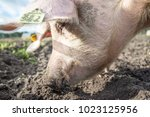 happy pigs on a farm in the uk | Shutterstock . vector #1023125956
