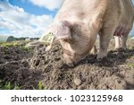 happy pigs on a farm in the uk   Shutterstock . vector #1023125968