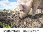 happy pigs on a farm in the uk   Shutterstock . vector #1023125974
