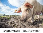 happy pigs on a farm in the uk   Shutterstock . vector #1023125980