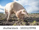happy pigs on a farm in the uk   Shutterstock . vector #1023125998