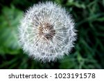 A Silver White Tufted Blowball...