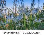 beautiful spanish irises at the ... | Shutterstock . vector #1023200284