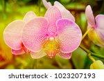 pink phalaenopsis or moth...   Shutterstock . vector #1023207193
