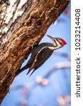 Pileated Woodpecker On A Dead...